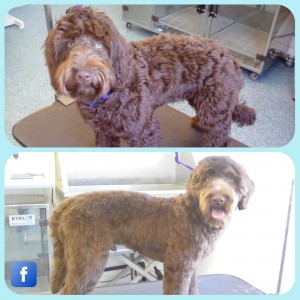 Cockerpoo before after
